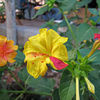 Thumb_220px-mirabilis-jalapa-in-different-colors