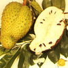 Soursop, Prickly custard apple