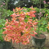 Red flag bush, Tropical Dogwood