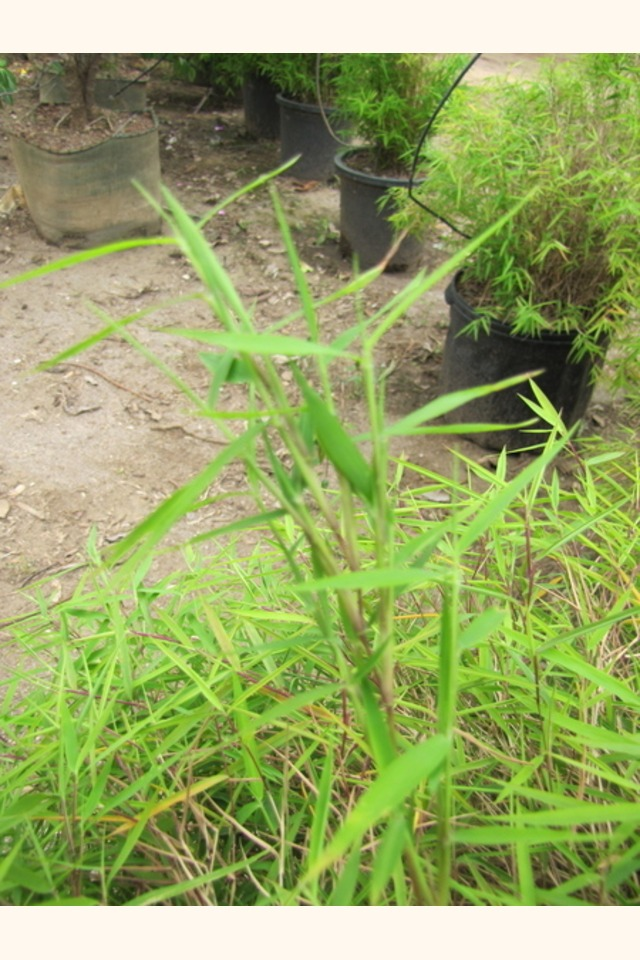 Slider_dwarf_chinese_bamboo__pogonatherum_sp.____leaf