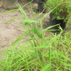 Thumb_dwarf_chinese_bamboo__pogonatherum_sp.____leaf