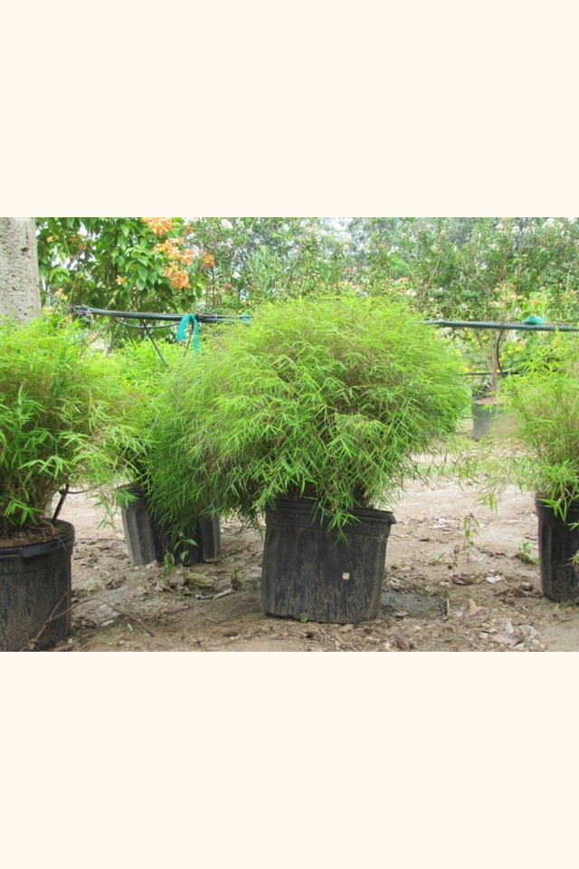 Slider_dwarf_chinese_bamboo__pogonatherum_sp.___