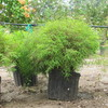 Thumb_dwarf_chinese_bamboo__pogonatherum_sp.___