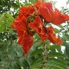 African Tulip Tree, Fountain tree
