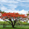 Royal Poinciana, Flamboyant