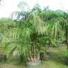 Multiplex, Bamboo Palm, Butterfly Palm, Areca Palm