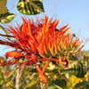 Tiger's Claw, East Indian Coral Tree,